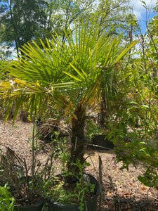 Mediterranean Fan Palm - 20 Gallon Pot 10' Tall