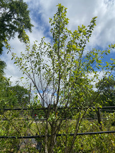 River Birch Shrub - 20 Gallon Pot