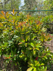 Photinia Red Tip - 15 Gallon Pot