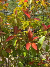 Load image into Gallery viewer, Photinia Red Tip - 15 Gallon Pot