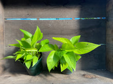 "Load image into Gallery viewer, Neon Pothos - 4"" or 6"" pot"