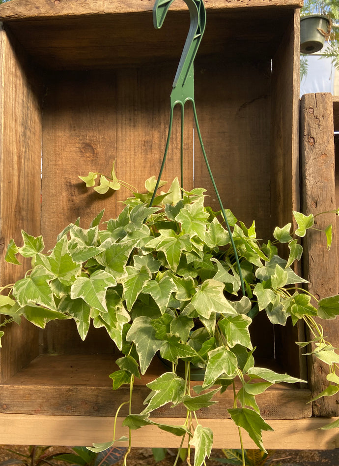 Variegated English Ivy - 8