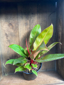 "Hybrid Philodendron - 3 Varieties - 6"" pot"