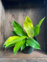"Load image into Gallery viewer, Hybrid Philodendron - 3 Varieties - 6"" pot"