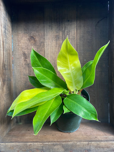 Hybrid Philodendron - 3 Varieties - 6