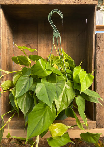 Lemon Philodendron - 8