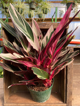"Load image into Gallery viewer, Stromanthe Triostar - 8"" pot"