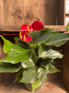 "Anthurium (Red Flower) - 8"" pot"