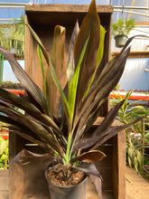 "Load image into Gallery viewer, Black Cordyline - 8"" pot"
