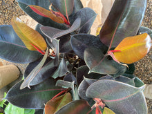 "Load image into Gallery viewer, Ficus Burgundy / Rubber Plant - 6"", 8"" or 10"" pot"