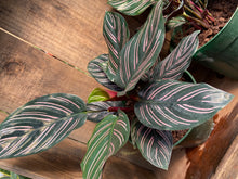 "Load image into Gallery viewer, Calathea - Beauty Star- 6"" pot"