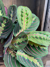 "Load image into Gallery viewer, Red Maranta - 6"" pot"
