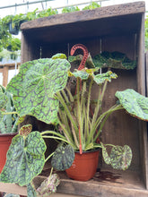 "Load image into Gallery viewer, Rhizomatus Begonia - 6"" Hanging Basket"