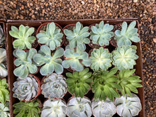 "Load image into Gallery viewer, Assorted Echeveria Succulents - 4"" pot"