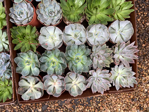 Assorted Echeveria Succulents - 4