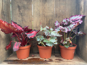 "Begonia Rex - 4"" or 6"" pot"