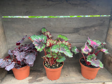 "Load image into Gallery viewer, Begonia Rex - 4"" or 6"" pot"