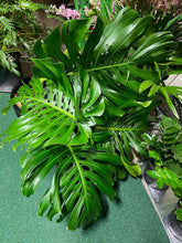 Load image into Gallery viewer, Monstera Cuttings - Assorted Sizes