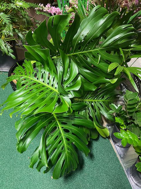 Monstera Cuttings - Assorted Sizes
