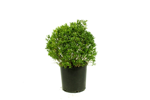 Boxwood Ball Topiary 2'