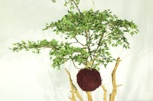 Kokedama Traditional Japanese Hanging Plant