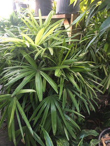 Rhaphis Palm 5' Tall
