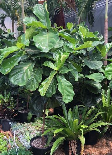 Fiddle Leaf Fig - 6'tall Standard