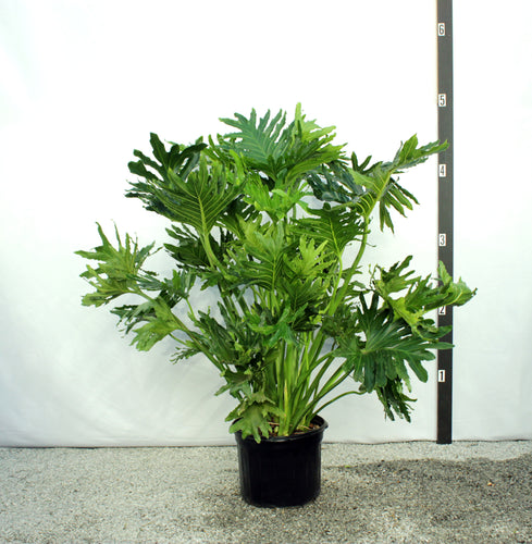 Philodendron Selloum 4'