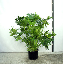 Load image into Gallery viewer, Philodendron Selloum