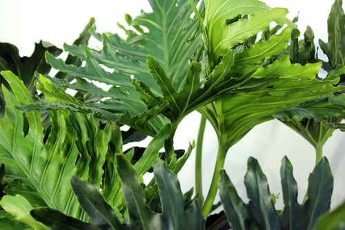 Philodendron Selloum 5'