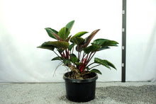 Load image into Gallery viewer, Philodendron Congo - 3' Red
