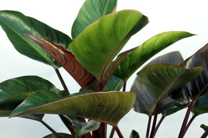 Philodendron Congo - 3' Red