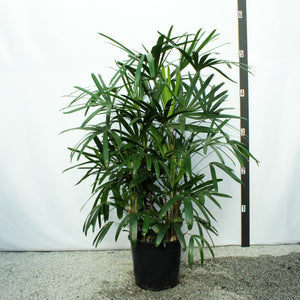 Rhapis Palm 5'