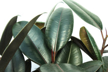 Load image into Gallery viewer, Rubber Plant
