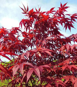 Japanese Maple 4-5'