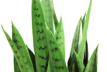 Load image into Gallery viewer, Sansevieria 30""