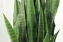 Load image into Gallery viewer, Sansevieria Snake Plant 4'