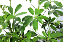 Load image into Gallery viewer, Schefflera Arboricola 3-4'
