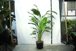 "Strelitzia 7-8' ""Bird of Paradise"""