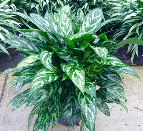 Aglaonema Tigress - 10