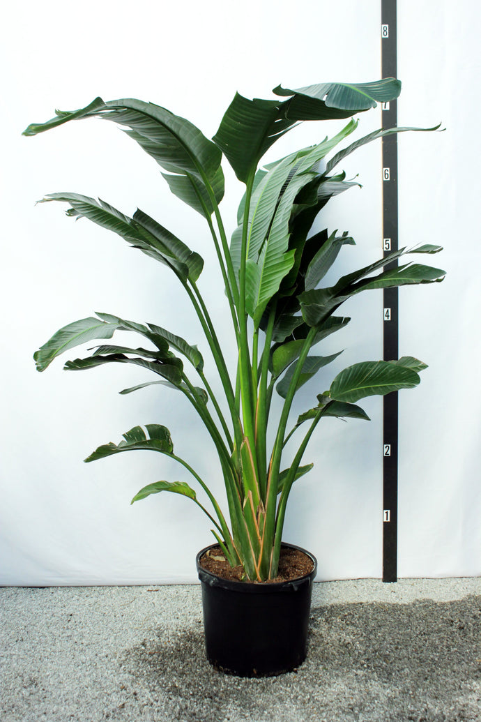 Strelitzia / Bird of Paradise 8' Tall