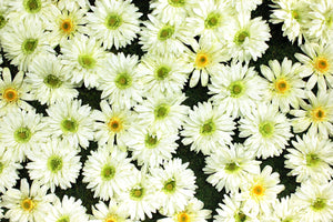 White Daisy Flower Panels & Wall