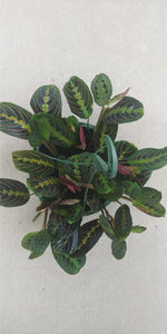 "Red Maranta - 8"" hanging basket"