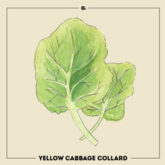 Yellow Cabbage Collard
