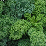 North Curly Kale 'Blend'