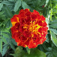 French Marigold Mix