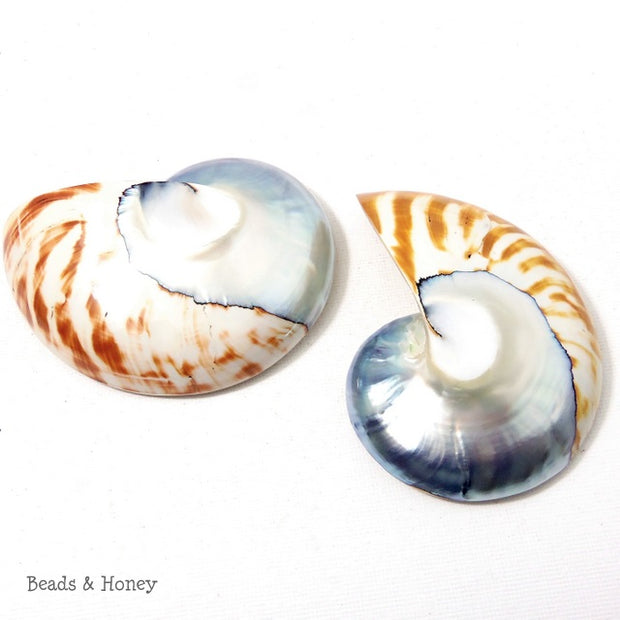 Nautilus Shell Cabochon Blue-Gray/Tiger 50x65mm (1pc)