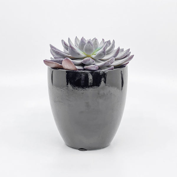 Graptoveria Lulu