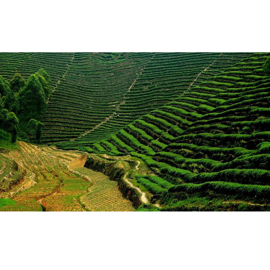 Tea Production Methods: Various Tea Production Techniques