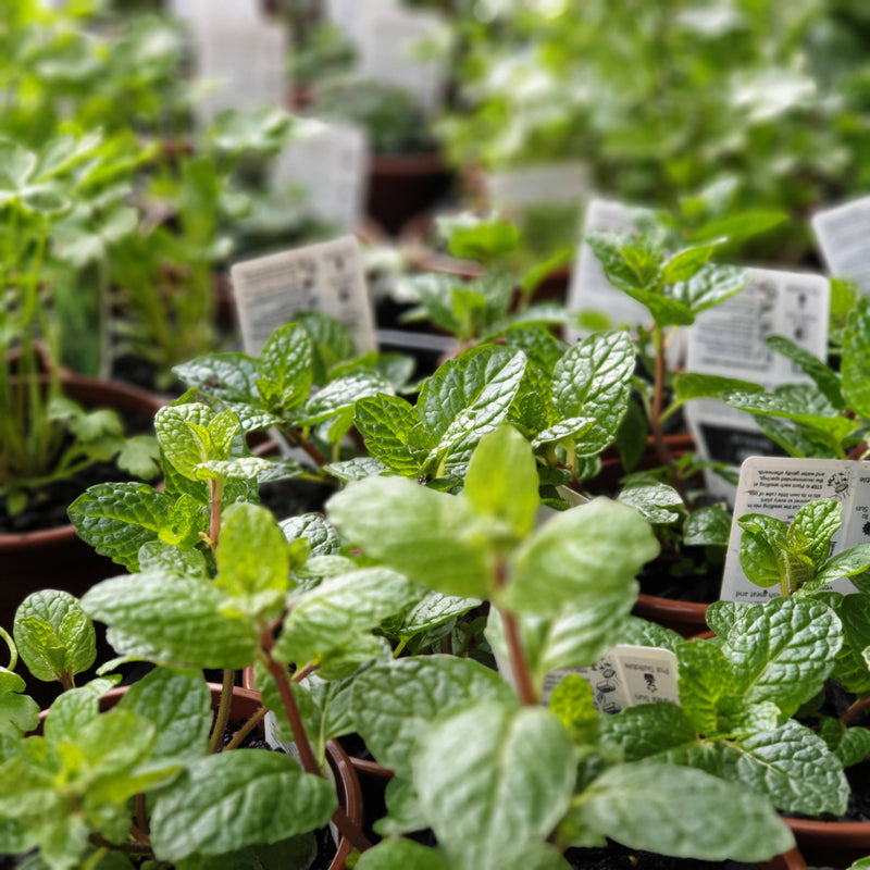 Herbs (small seedling pot)